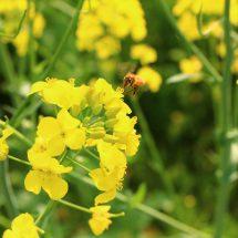 松館の人がはだけさ植えでら菜の花、満開なってらす。