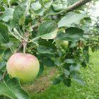 この前、りんごばだげさ行ったら1ヵ月前はまだちっちぇがったりんごの実っこ、だいぶでっけぐなってだす。