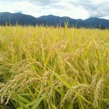 こどしは春の低温ど、大雨どで稲さ影響大きがっども、田んぼが綺麗な黄金色さなって稲刈りでぎるぐなったす。