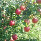 市役所の前さもリンゴの木あるす。