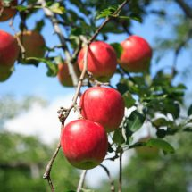 """週末、東京・神田淡路町WATERRAS(ワテラス)でやる""""WATERRASマルシェ""""で鹿角りんご販売するす。"""