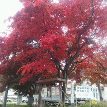 花輪図書館前さあるもみじの木が見頃になったす。