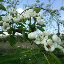 桃の木の隣さ丸くて白い花っこ咲いでら木あったす。