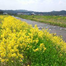 川沿いさ、菜の花咲いでだがら車止めで見に行ったす。