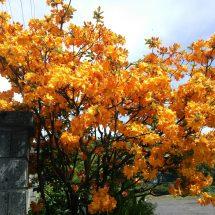 えの近ぐ散歩してだら、綺麗な花咲いでら木見っけだす。