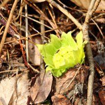 ばっけ、冬のうぢ、つぢの中さいで、春来て、花咲がへで種飛ばす準備すてらす。