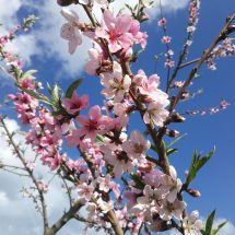 いつもより10日位遅いども、桃の花も一斉に咲いだす。