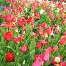 花っこ綺麗に咲いでらって聞いだがら見に行ってきたす。