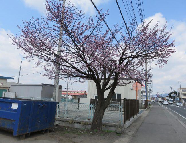 花輪の国道沿いのさぐら咲いであったけす。