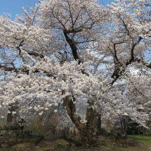 天気いがったがら桜山のさぐら見に行ったす。