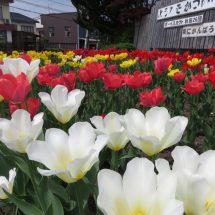 こどしも国道沿いの花っこ綺麗に咲いだす。