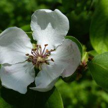 マルメロの花っこ咲いでらんだど。
