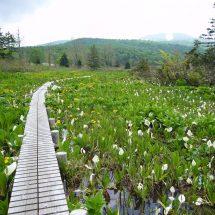 はぢまんたいの山の花っこも咲いできたす。