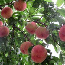 桃の季節さなったすな。