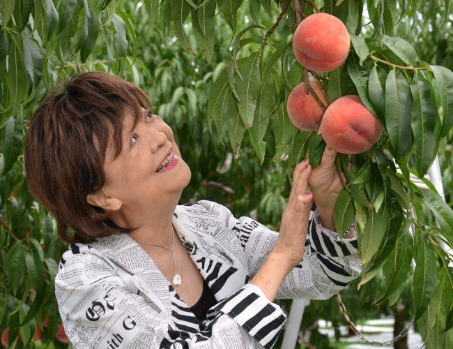 脚本家の内館牧子さん、北限の桃の木のオーナーなんだす。