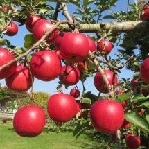 市役所前のりんごだす。