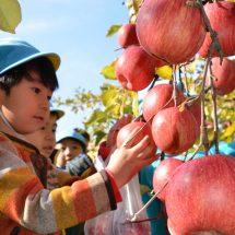 市役所のりんごの木のもぎ取りやったす。