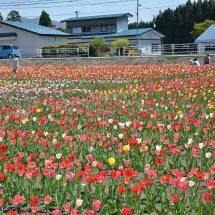 十和田大湯の県道沿いのチューリップが見頃です!