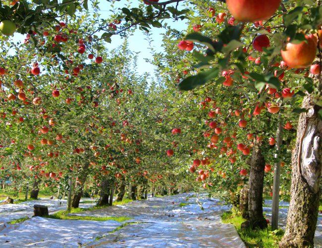 鹿角からの甘い贈り物!めぇ果樹の収穫シーズンがはじまるっす!